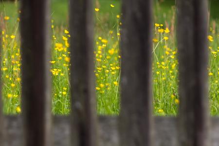Buttercups seen through a fence Stock Photo