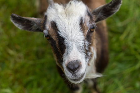 focal point: Goat with focal point on the nose
