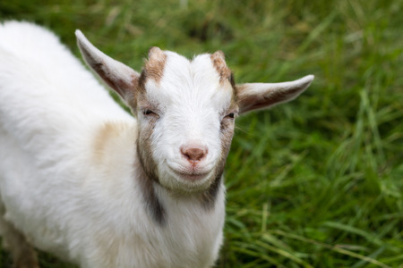 focal point: White goat looking at the camera Stock Photo
