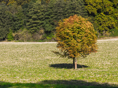 Single autumn tree on a meadow Stock Photo