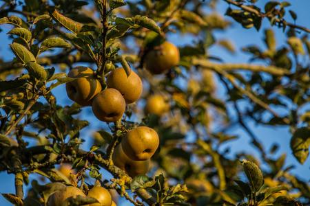 Apples in late autumn evening sun