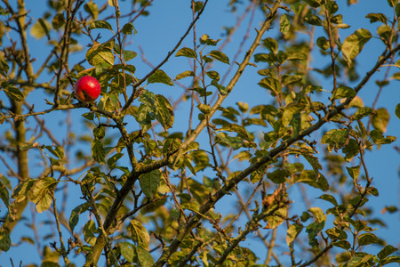 Single red apple on an autumn tree in the evening sun Stock Photo