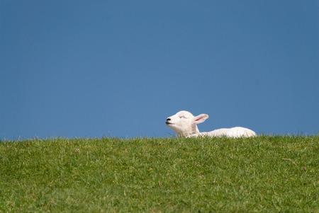 lamb  north sea coast of st. peter-ording  germany photo