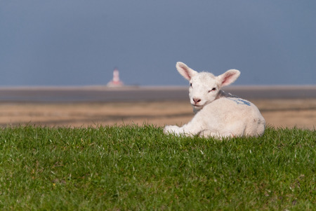 innocense: lamb  north sea coast of st. peter-ording  germany Stock Photo