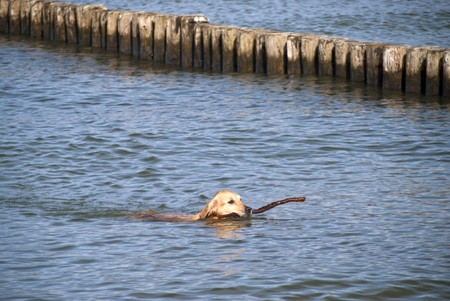 retrieving: Dog retrieving in the water