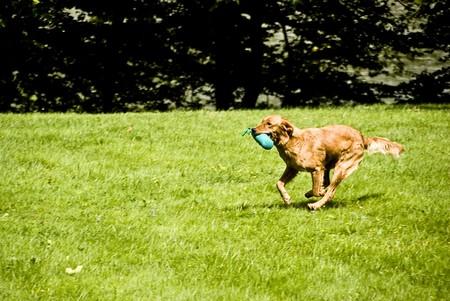 Running golden retriever on green grass Stock Photo