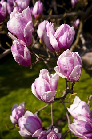 Blossoming magnolia tree in april photo