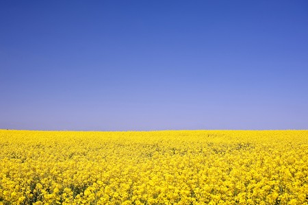 Rape field in Schleswig-Holstein, Germany photo