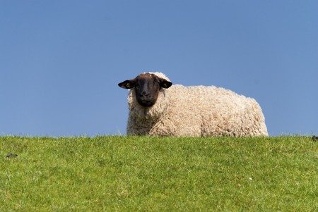 sheep / north sea coast of st. peter-ording / germany Stock Photo - 8117579