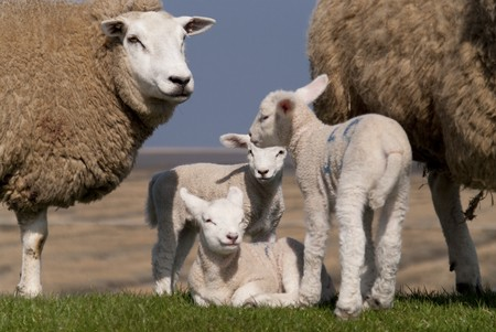 lambs  north sea coast of st. peter-ording  germany photo