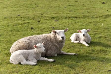 lambs  north sea coast of st. peter-ording  germany