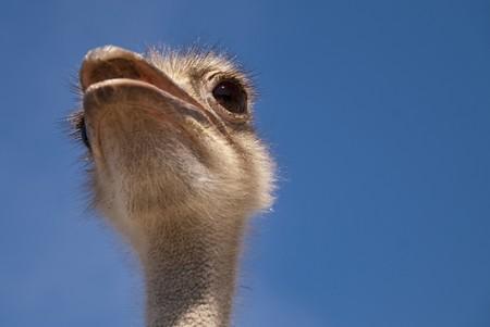 close up of an ostrich photo