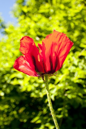 cole up of a poppy flower photo