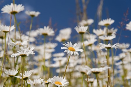 meadow with daisies in june photo
