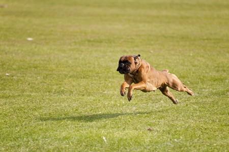 boxeadora: escena en una sept de reuni�n de perro. 2009 en kiel, Alemania