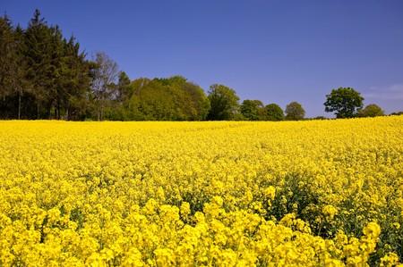 Rape field in Schleswig-Holstein, Germany photo