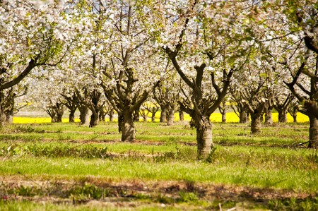Chreey blossom in schleswig-Holstein, Germany photo