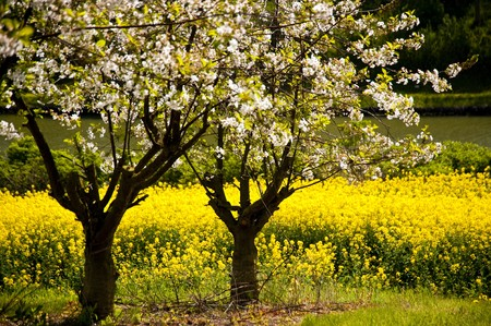 Chreey blossom in schleswig-Holstein, Germany