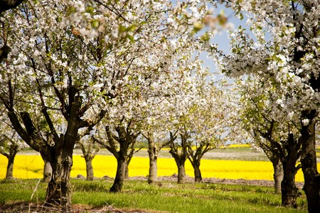 Chreey blossom in schleswig-Holstein, Germany photo