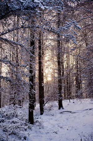 christmas tide: snowy winter scene in a wood