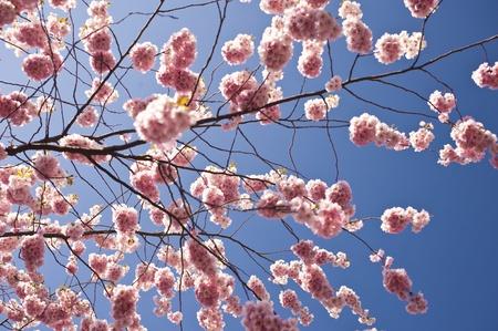 rose tree: Cherry blossom