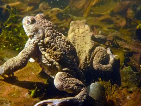 bufo toad: Common Toad Bufo Bufo