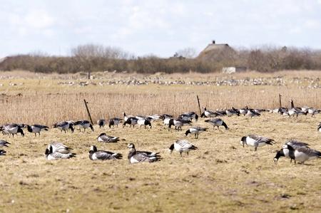 Barnacle Geese photo