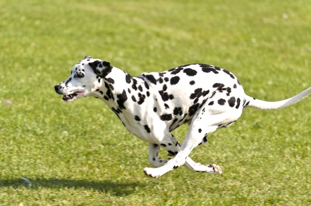 dalmatier: Honden Race