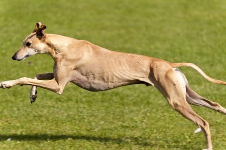 angry dog: Dog Race