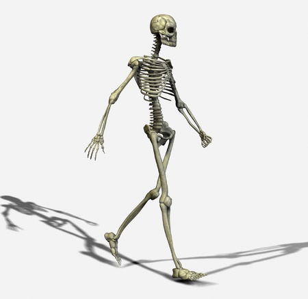 muscular system: Skeleton Stock Photo