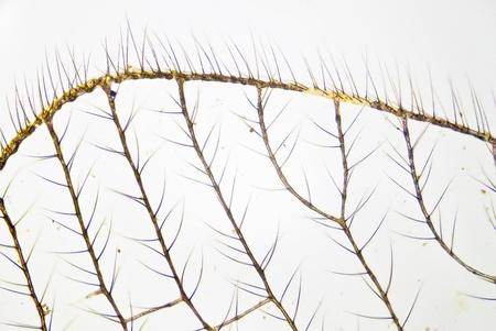 Aile d'un moustique