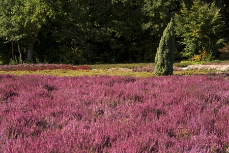 Luneburg Heath, Germany photo