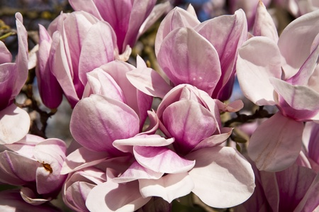 Blooming of a Magnolia Tree photo
