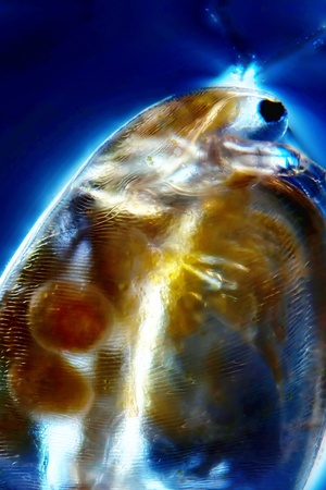 protozoan: Micro Photo of a Water Flea
