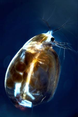 Micro Photo d'une puce d'eau