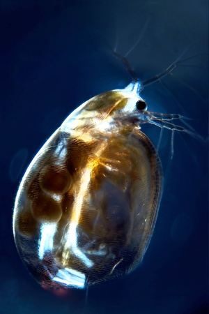 Micro Photo of a Water Flea