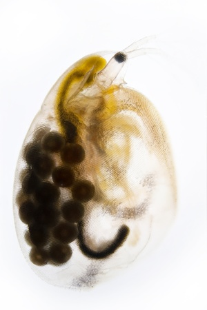 Micro Photo of a Water Flea photo