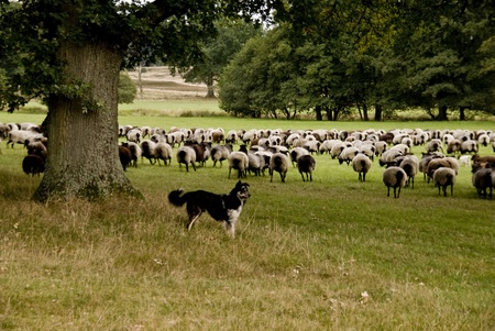 Sheep in Luneburg Heath in Germany Stock Photo - 21804407