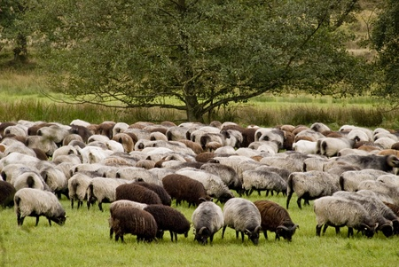 herdsman: Sheep in Luneburg Heath in Germany Stock Photo