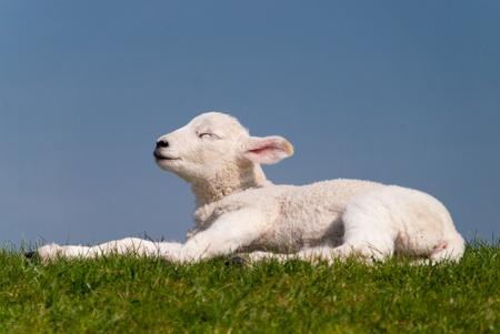 lamb  north sea coast of st. peter-ording  germany Stock Photo