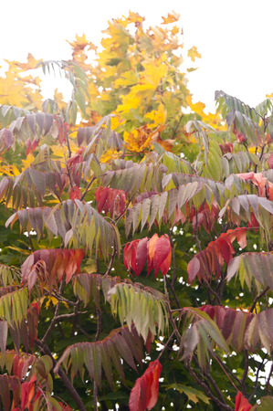staghorn: Staghorn sumac in fall Stock Photo