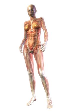 Digital Illustration of the human Anatomy Stock Illustration - 24135385