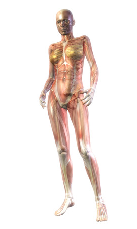 Digital Illustration of the human Anatomy Stock Illustration - 24135448