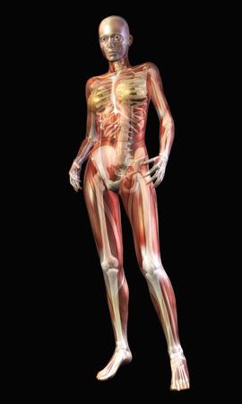 Digital Illustration of the human Anatomy Stock Illustration - 24135384