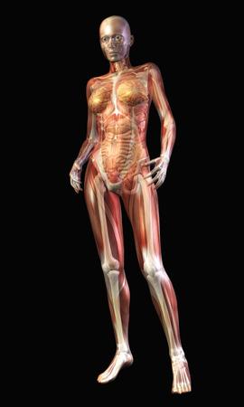 Digital Illustration of the human Anatomy Stock Illustration - 24135386