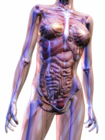 skeletal muscle: Digital Illustration of the human Anatomy Stock Photo