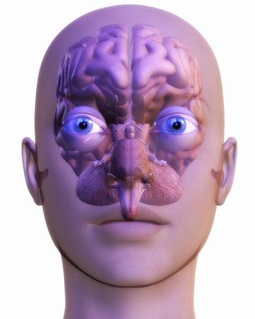 Digital Illustration of a human Brain Stock Illustration - 24135394