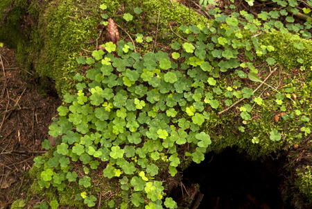 sour clover: Detail in a german Forest