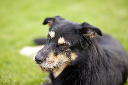 Crossbreed Dog lying on the Grass photo