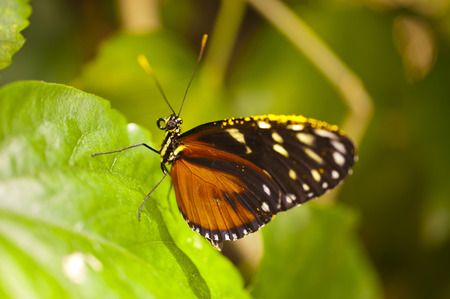 compound eyes: Heliconius ismenius